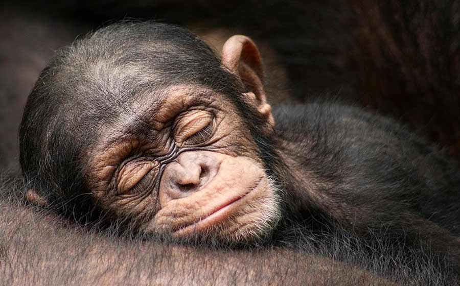 sonho com macaco