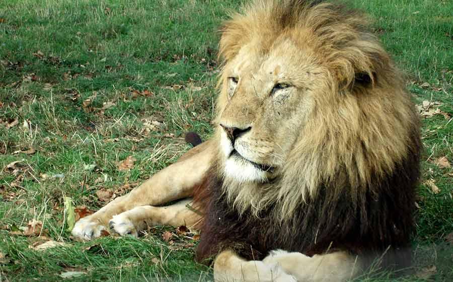 sonho com leão