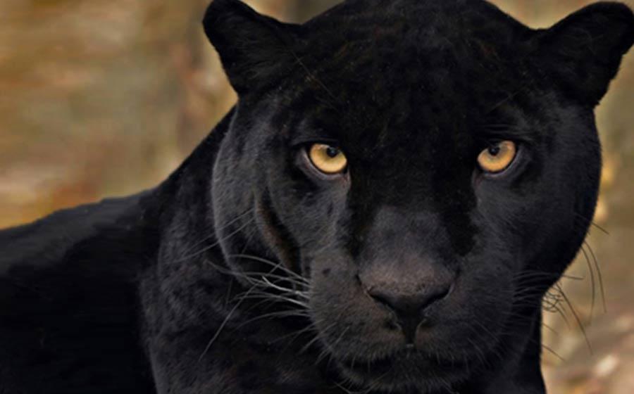 Pantera Negra: Sonhar Com Pantera Negra - Significado Dos Sonhos