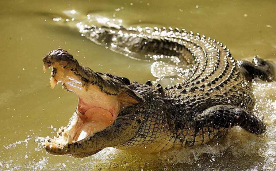 sonho com crocodilo